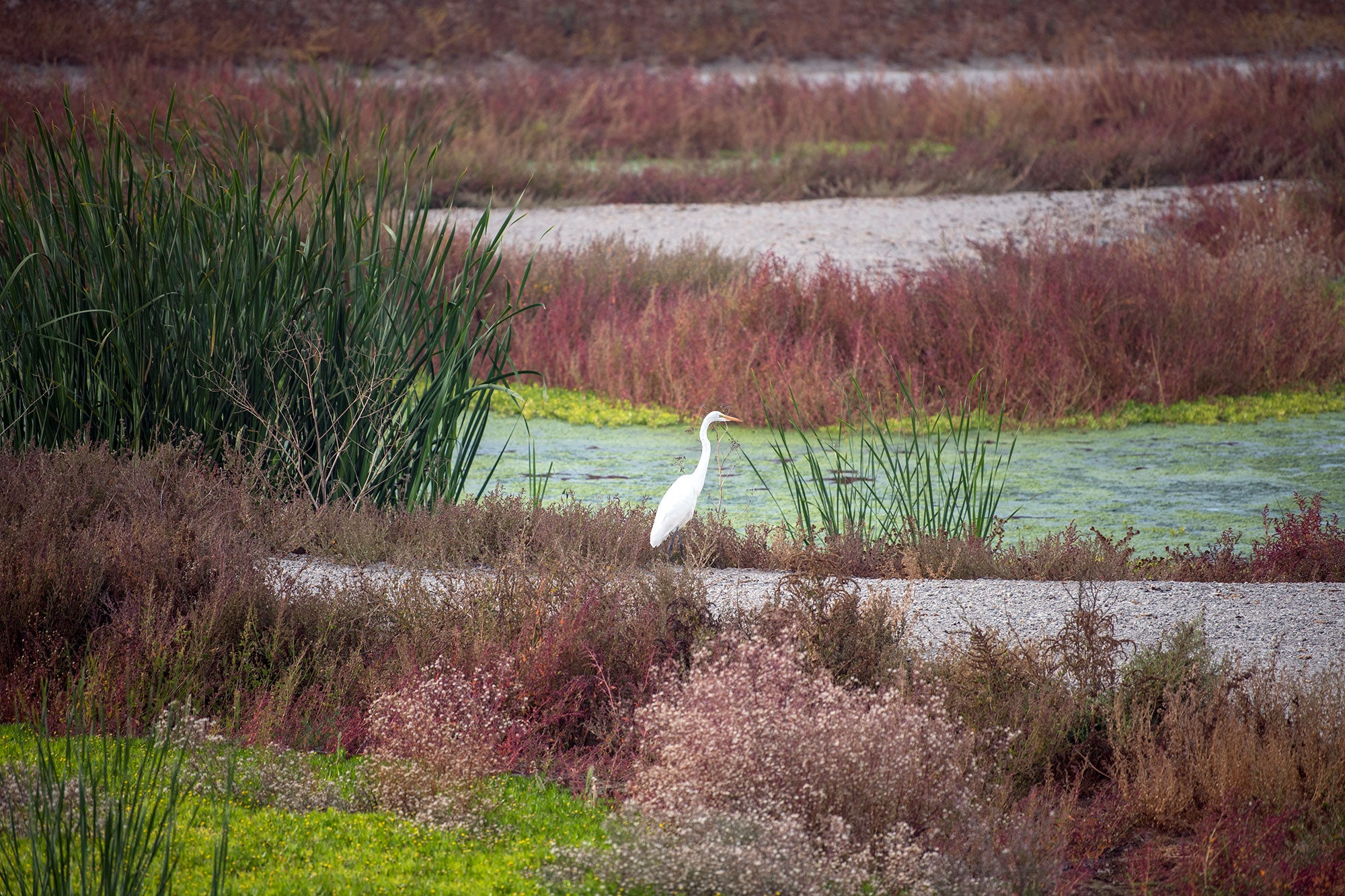 A Great Egret sits on marshland of the Don Edwards Wildlife Refuge