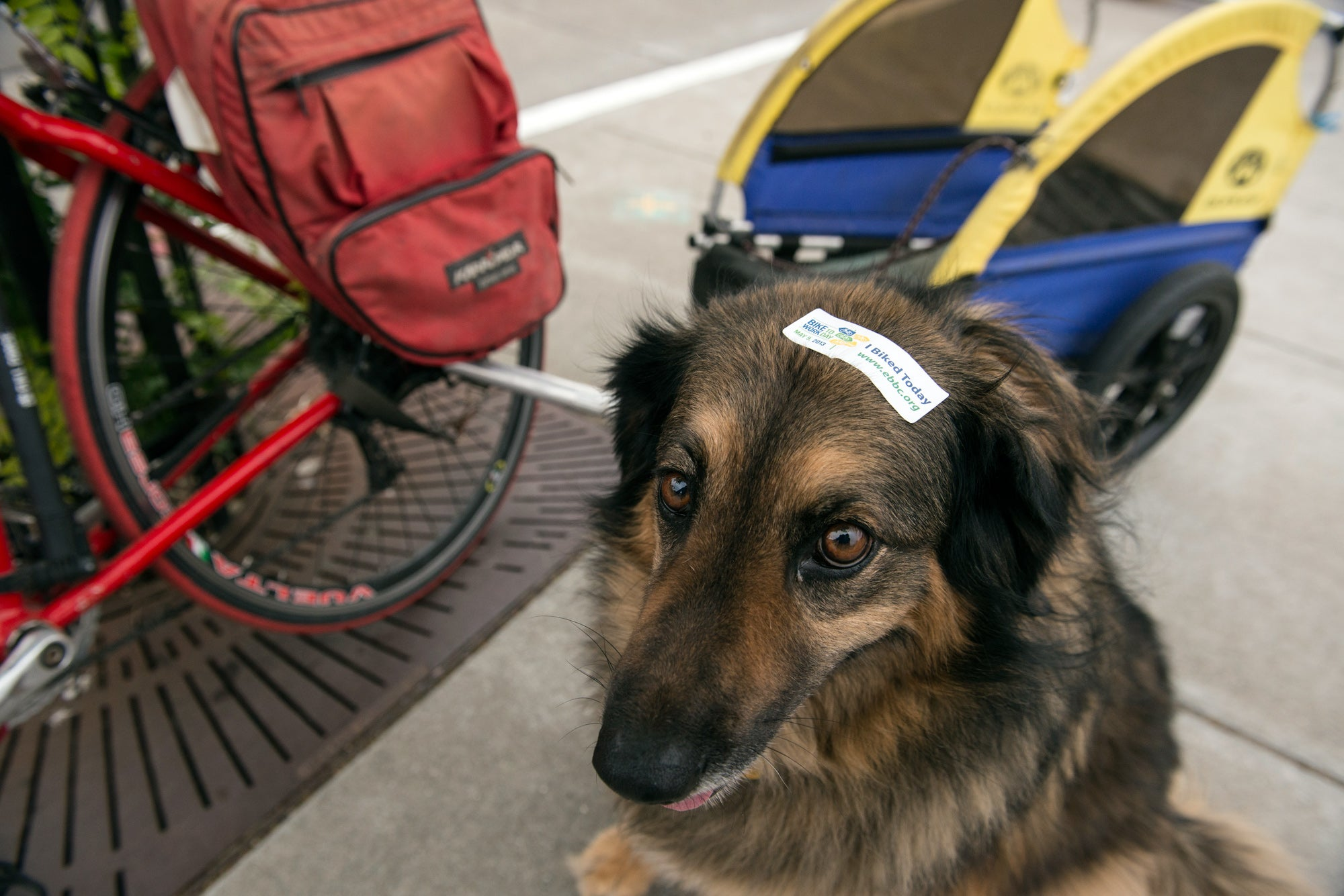 Just because you have four paws instead of two legs doesn't mean you can't participate in Bike to Work Day. Proudly wearing a participation sticker, Sassy Girl made the trip to the North Berkeley Energizer Station in a trailer behind her owner's bike.