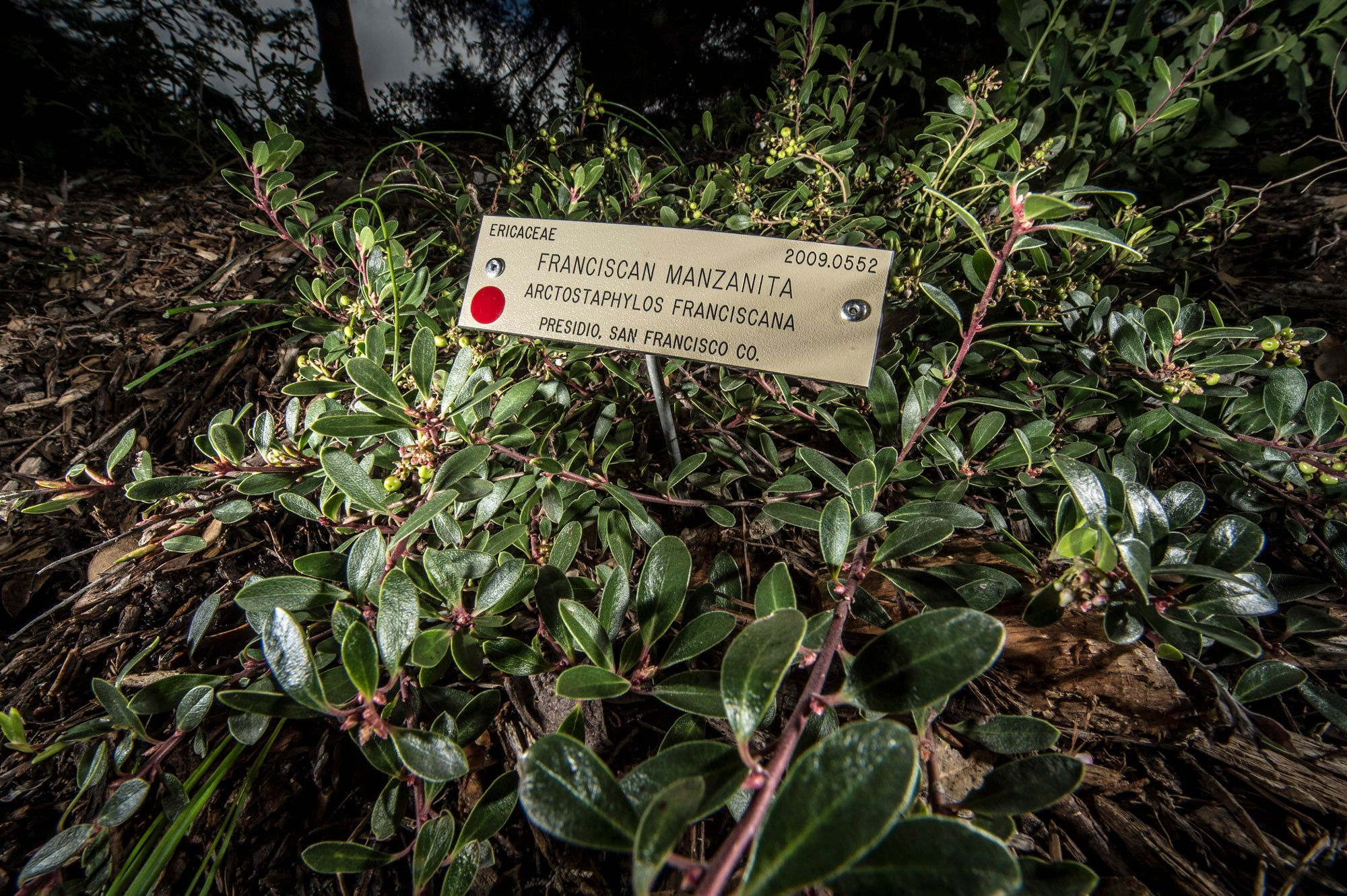 Cuttings of the Franciscan manzanita are growing at sites throughout the Bay Area, including the UC Berkeley Botanical Garden.