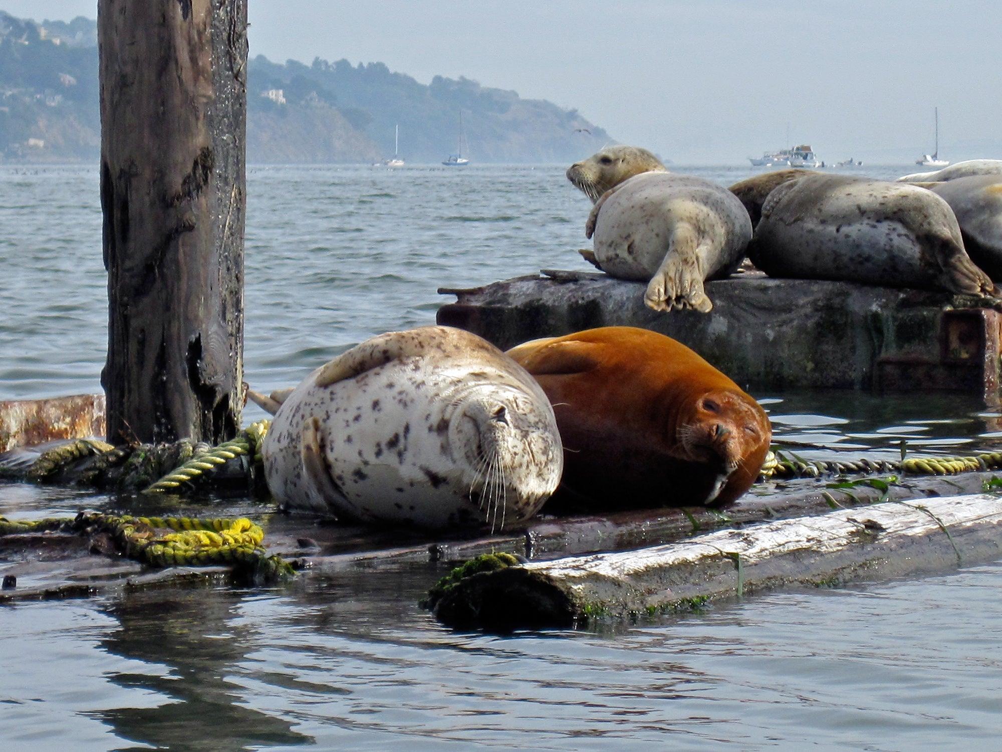 Harbor seals in Sausalito