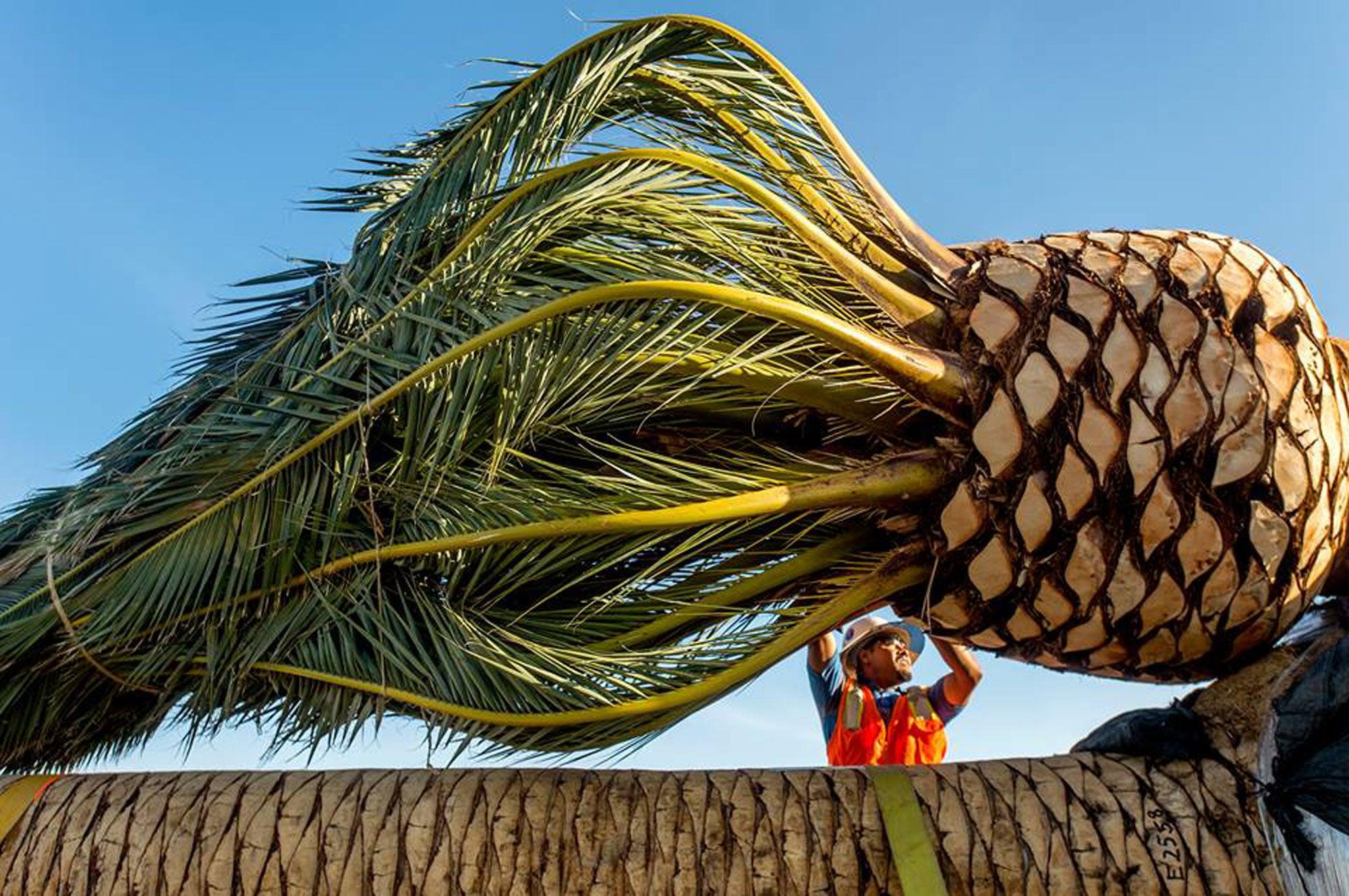 Palm tree planting on SFOBB